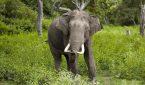 Tumori gli elefanti hanno un gene zombie per ammalarsi di meno