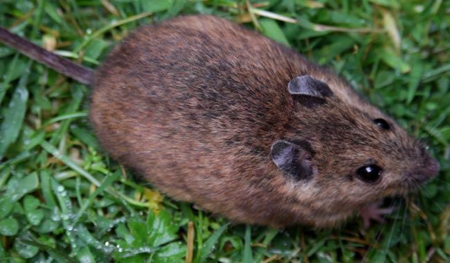 Epatite E arriva il primo caso di infezione tramite ratto