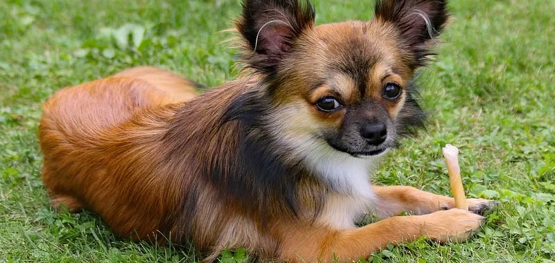 Chihuahua annegato in bagno durante una rapina