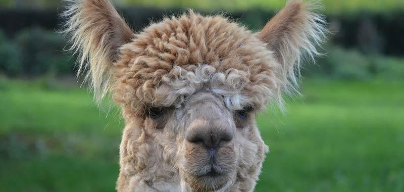 I Lama potrebbero essere un'arma contro il coronavirus