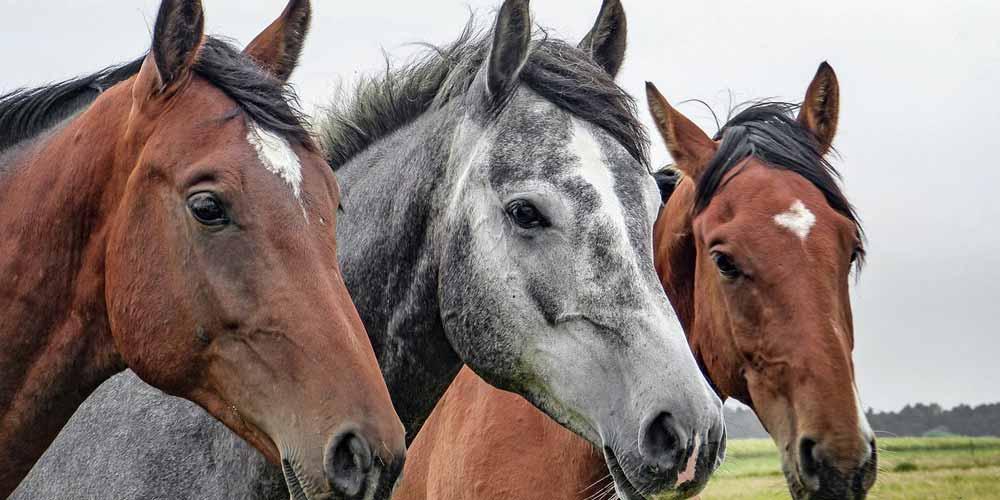 Coronavirus una variante colpisce i cavalli